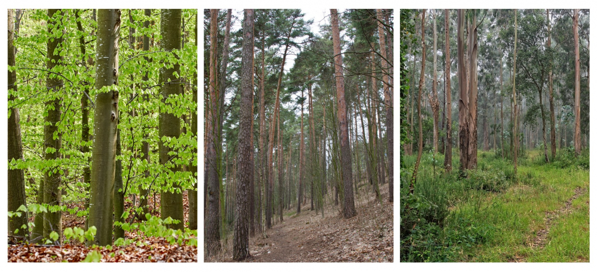 Three types of forests: beech, conifers and eucalyptus